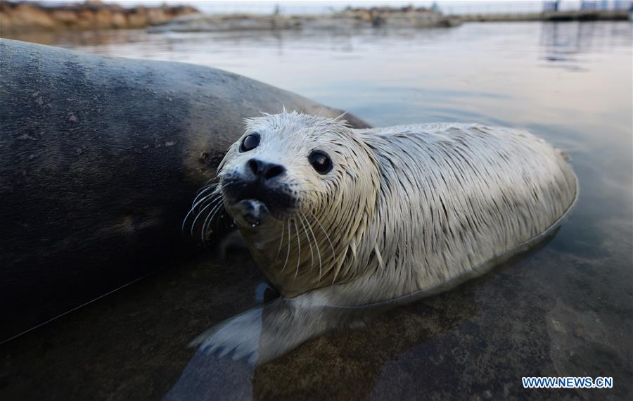 A newborn spotted seal cub is seen at the Dongpaotai Scenic Area in Yantai, east China's Shandong Province, Feb. 14, 2017. A female spotted seal cub named Lan Lan was born here on Feb. 3.