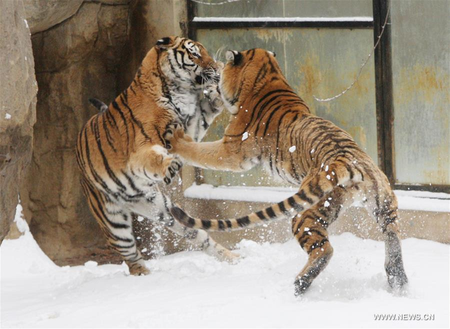 #CHINA-SHANDONG-YANTAI-SIBERIAN TIGER (CN)