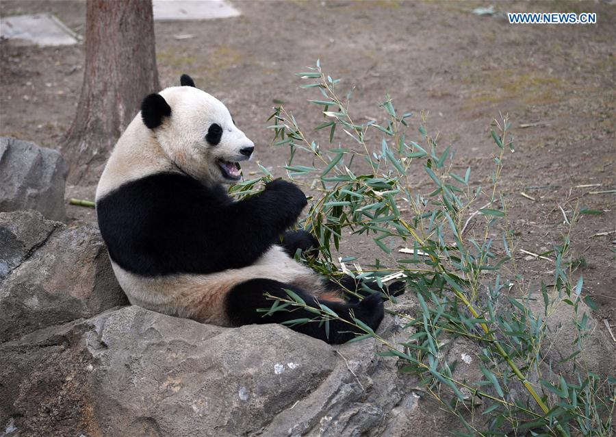 Giant panda Bao Bao eats bamboo at Smithsonian's National Zoo in Washington D.C., the United States, Feb. 16, 2017.