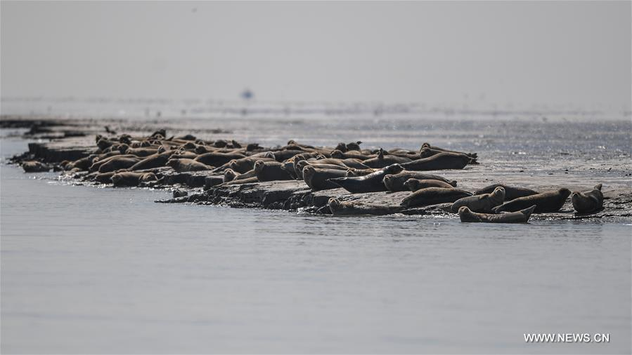 CHINA-LIAONING-LIAODONG BAY-SPOTTED SEALS (CN)