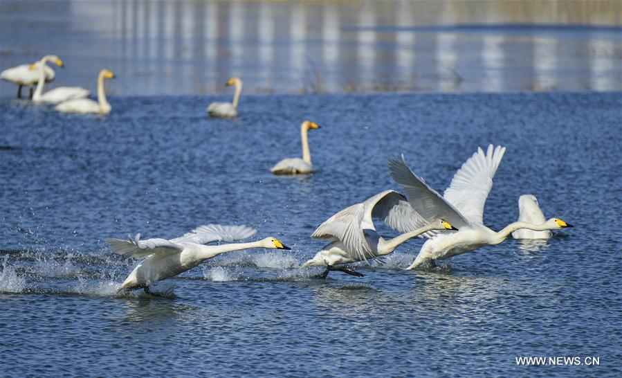 A large number of wild white swans, which had not appeared in the Qingshui River in the past a dozen years, returned to the district thanks to the improvement of local ecological environment.