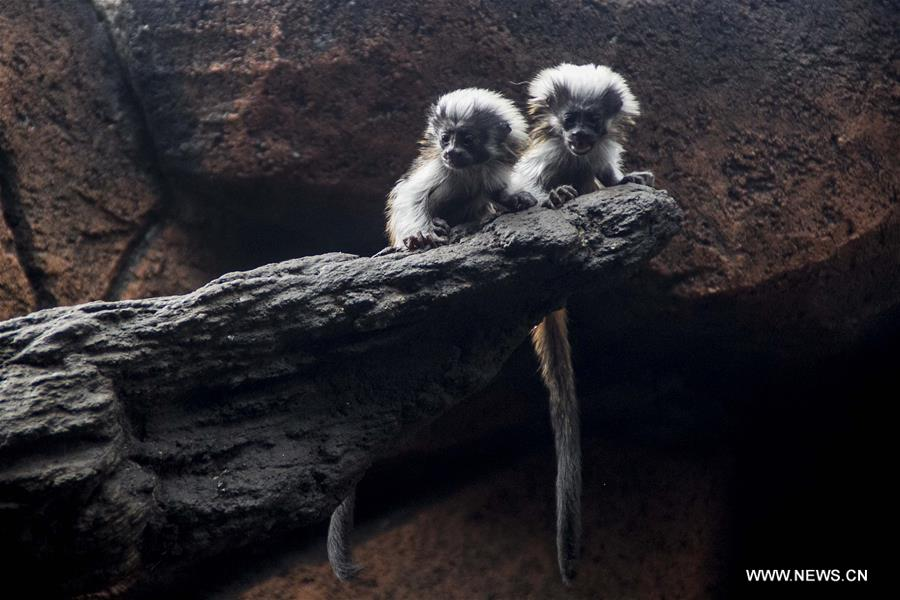 Twin baby cotton top tamarins have fun at zoop