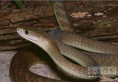 世界上致命动物:最毒蛇类竟在中国(5)