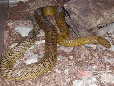 世界上致命动物:最毒蛇类竟在中国