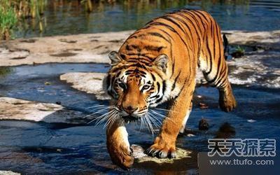 战斗力在猫科动物之中首