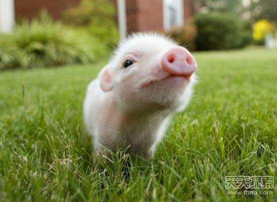 猪是已知圈养动物中最聪明同时也最爱干净的