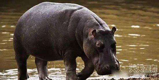 河马被认为是非洲最危险的动物