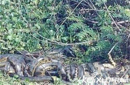 世界上最大的蛇97米 史前巨蟒破世界纪录