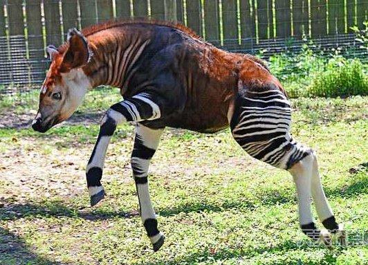 世界最稀有动物排行 角竟然是螺丝状的(9)