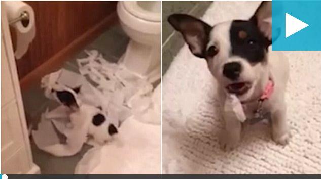 宠物狗玩坏筒卷纸露出可怜小眼神 主人不忍责罚