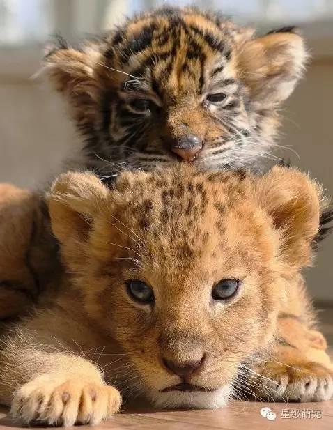 小老虎跟小狮子放一起,不久它们就变成粘人的好朋友!