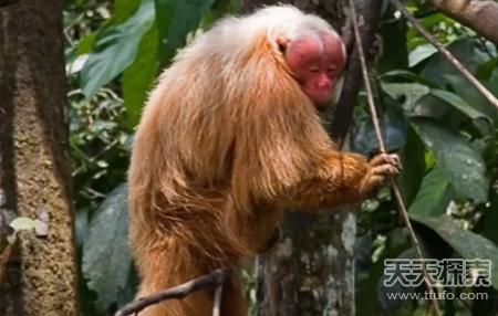 地球上最怪异的灵长类动物:第一竟是这家伙(2)