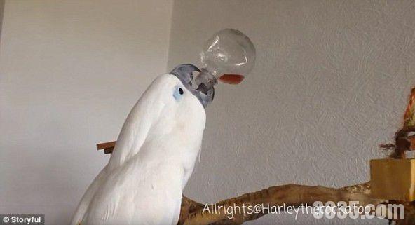 鹦鹉自己会抱着瓶子喝无糖的柠檬水