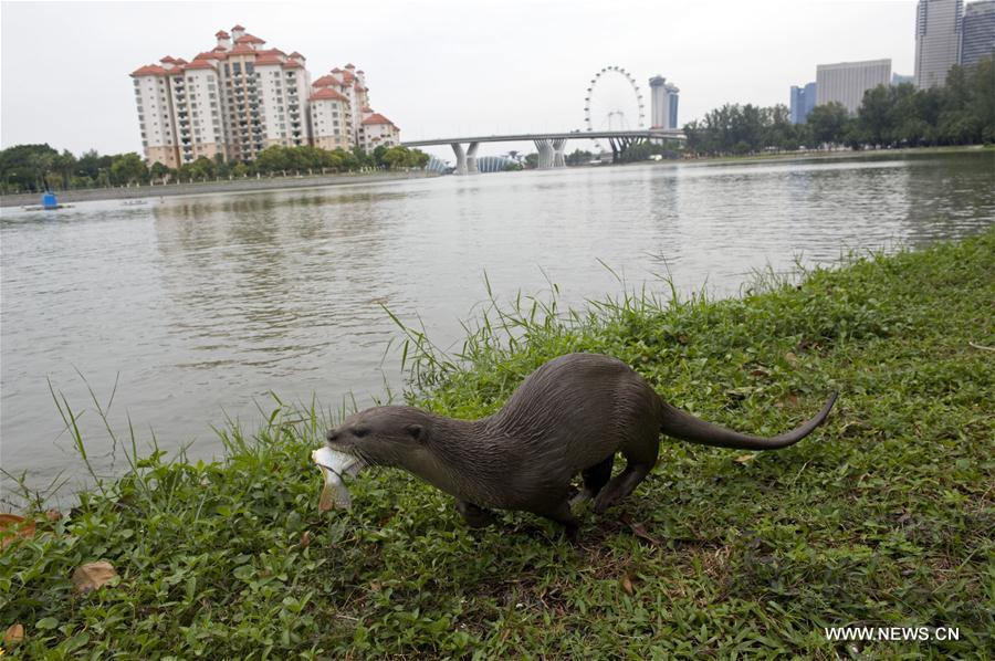 Smooth-coated otter families increase in Singapore