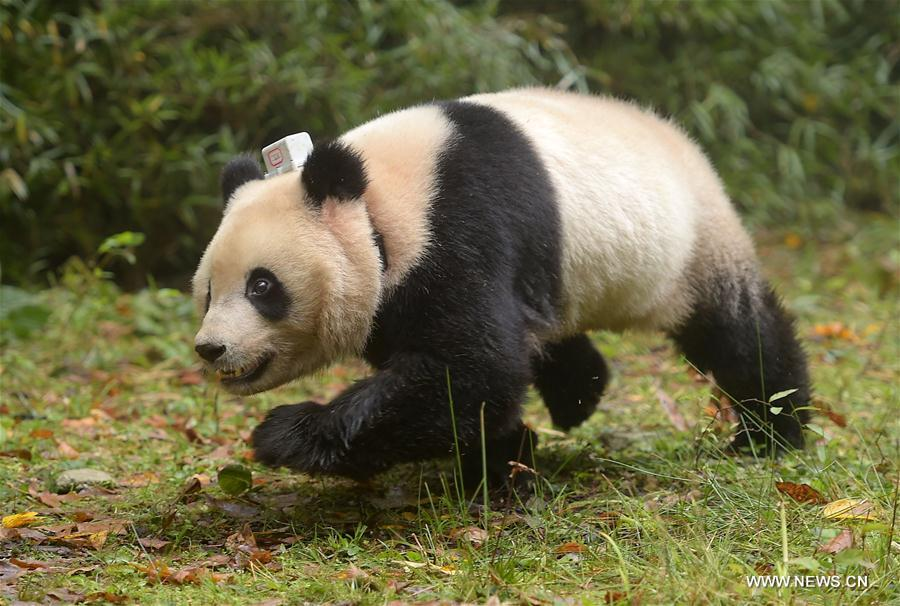 China Exclusive: China releases 6th, 7th giant panda into wild