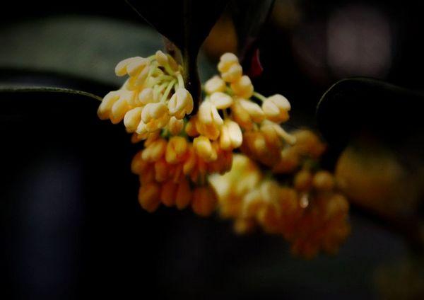 Osmanthus: scent of autumn