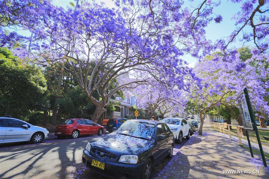 AUSTRALIA-SYDNEY-JACARANDA SEASON
