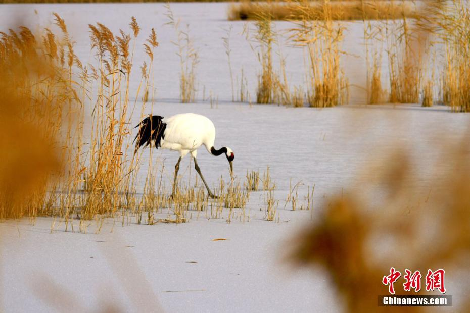 Red-crowned cranes seen in NW China's Gansu