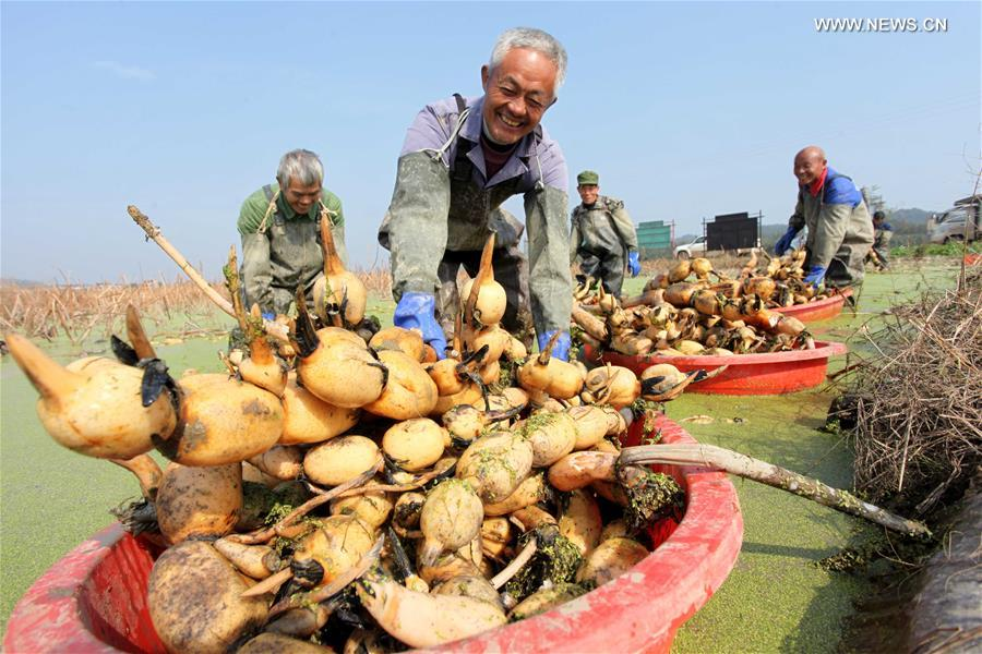 #CHINA-JIANGXI-LOTUS ROOT-HARVEST (CN)