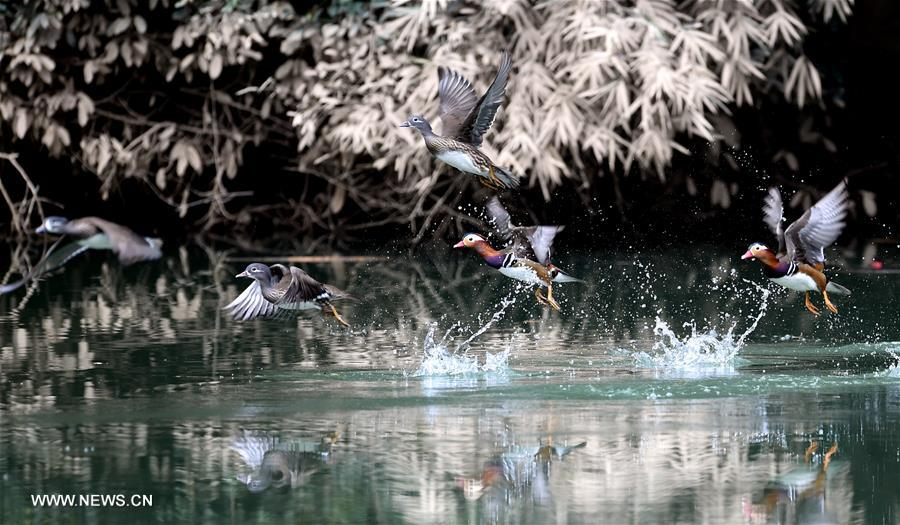CHINA-FUJIAN-MANDARIN DUCKS (CN)