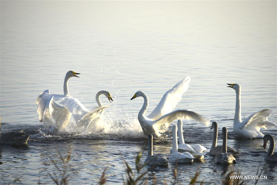Over 1,000 whooper swans came to spend the winter time in the park each year.