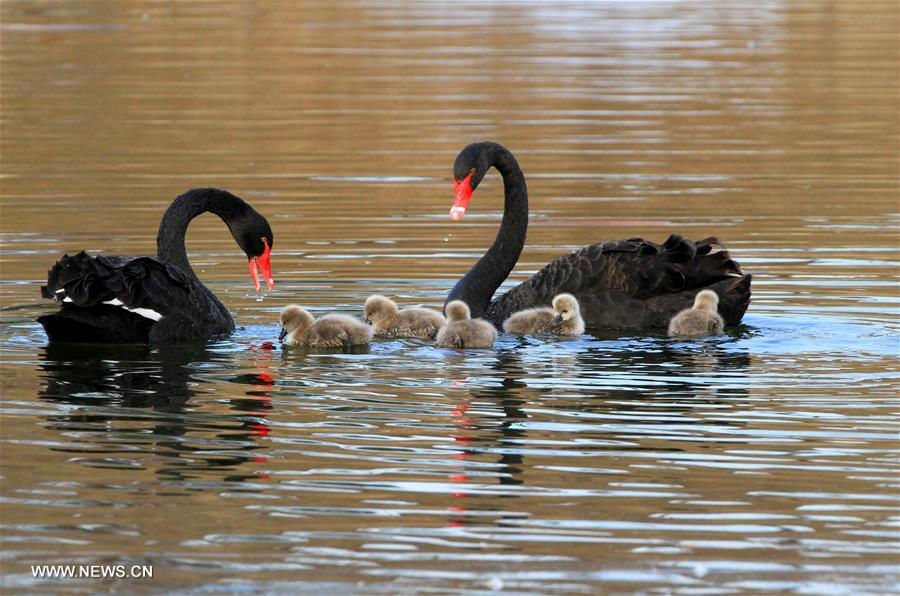 #CHINA-BEIJING-BLACK SWANS (CN)