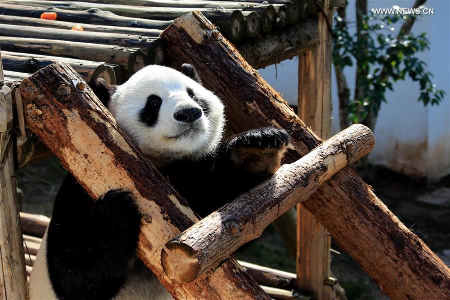 #CHINA-ANHUI-GIANT PANDA (CN)