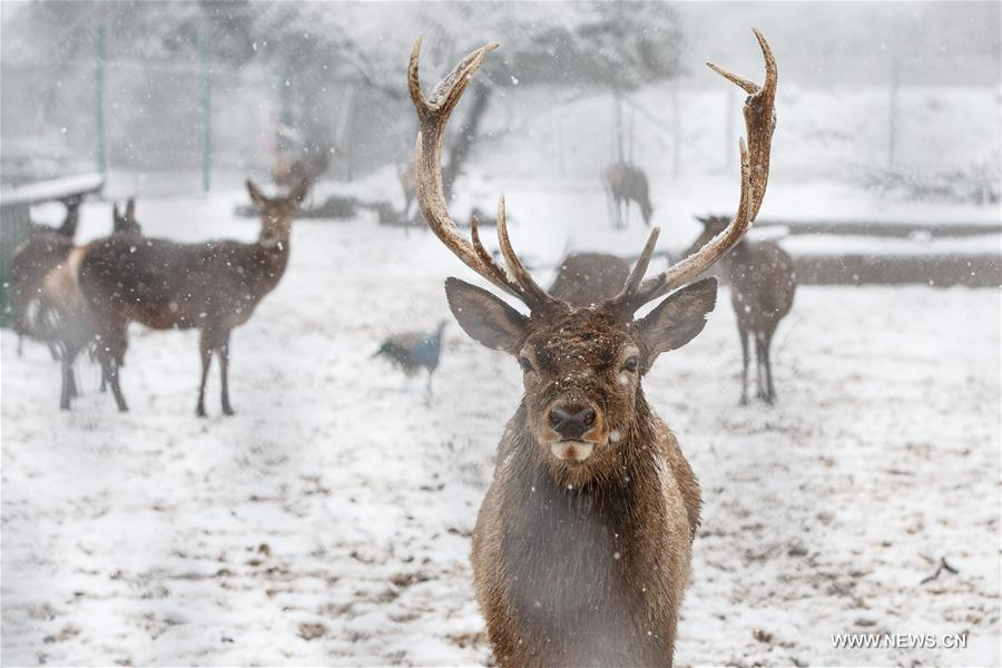 Reindeers are seen in the snow in Odem at the Golan Heights, Jan. 9, 2017. (Xinhua/JINI)