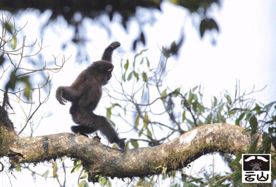 New species of 'skywalker' primates identified in China