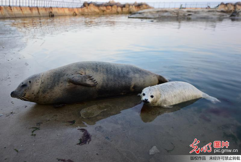 Newborn spotted seal cub in Yantai City, China's Shandong
