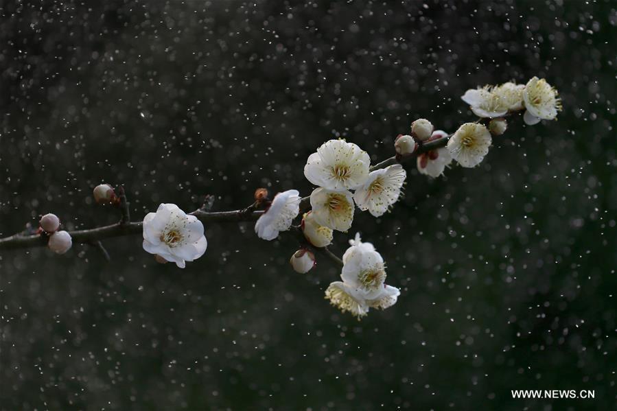 Photo taken on Feb. 16, 2017 shows a plum blossom in the rain at a park in Xuyi County, east China's Jiangsu Province. (Xinhua/Zhou Haijun)