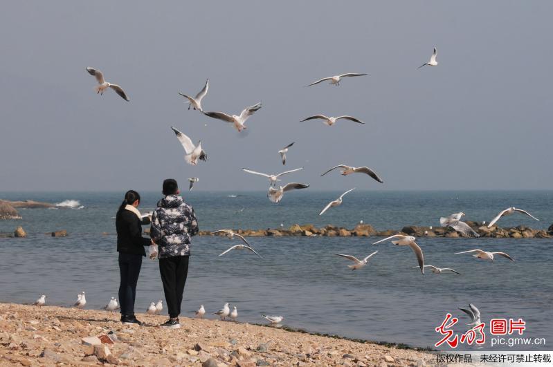 青岛:近千只银鸥汇集麦岛待迁引围观