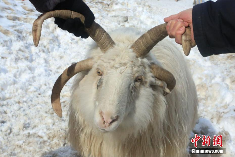 Goat with four horns seen in NW China's Xinjiang
