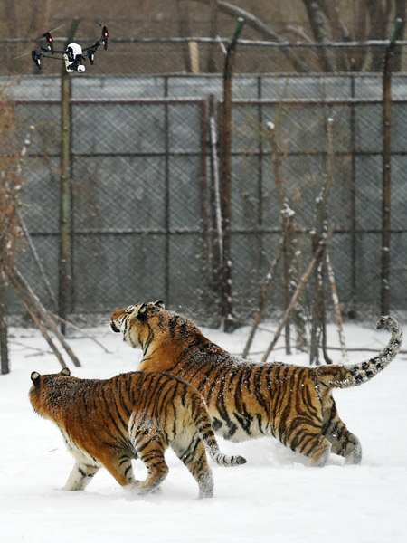 Tigers placed on post-winter diet