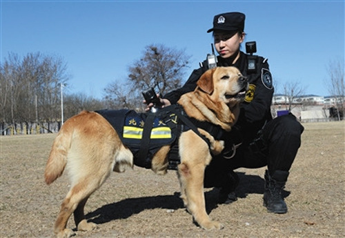 A police dog wearing video recorders is put into service in Beijing. (Photo/Beijing News)