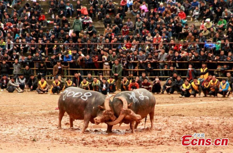 Bullfight spectacle in southwest China village