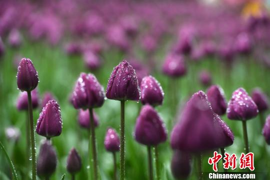 Millions of tulips bloom in Chongqing