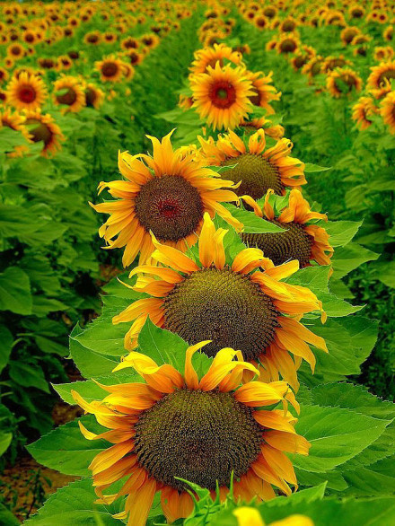 Beautiful photos  of sunflowers