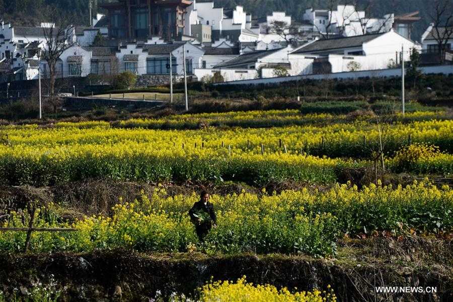 A villager works at a cole flower field in Yixian County of Huangshan City, east China's Anhui Province, March 15, 2017.