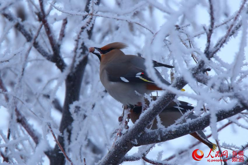 Colorful birds rest in snowy Xinjiang