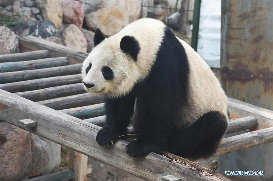 Aging panda returns to hometown for better care