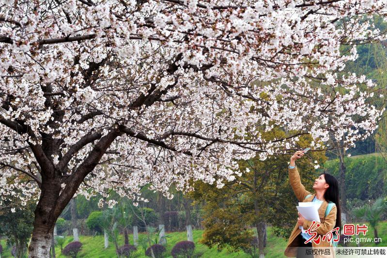 Cherry blossoms in Hubei University of Economics