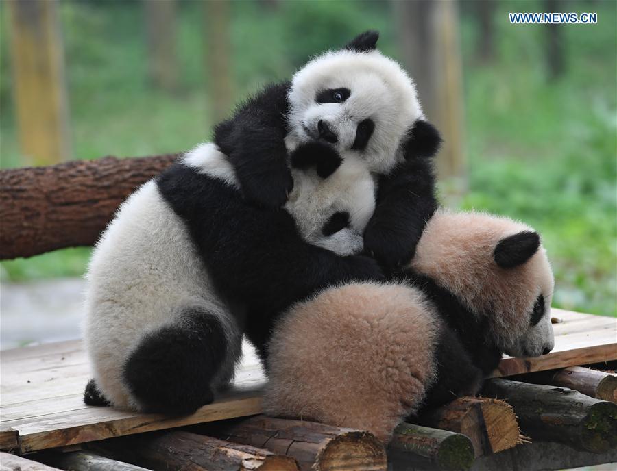 CHINA-CHONGQING-PANDA CUBS-NAMING (CN)
