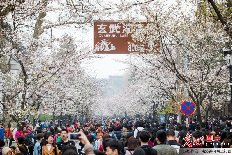 Cherry blossoms in China's Nanjing