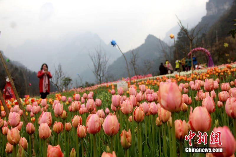 Tourists flock into Laodaowan Scenic Spot to enjoy blooming tulips in C China