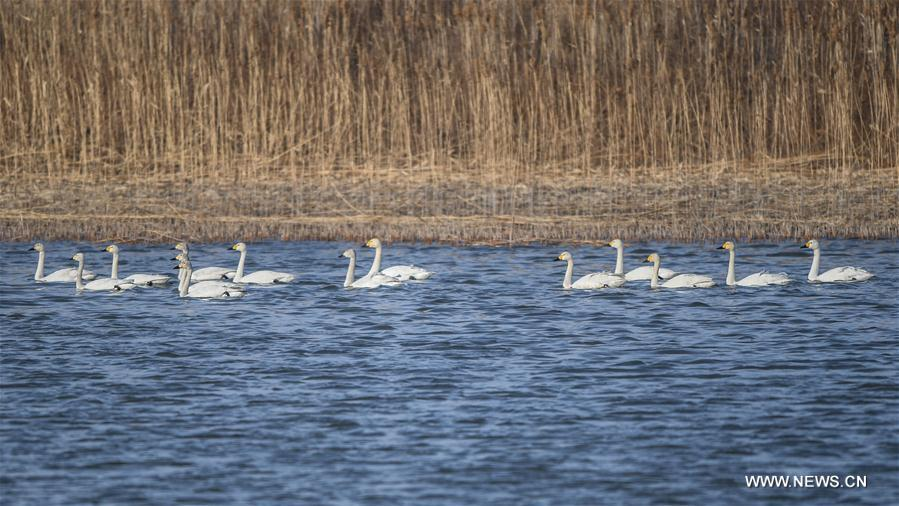 CHINA-LIAONING-MIGRATING BIRDS (CN)