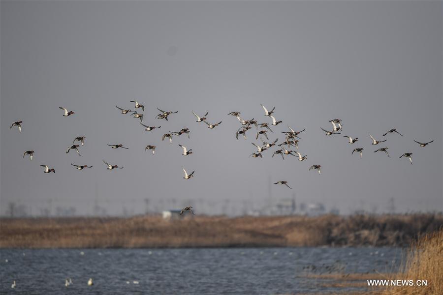 CHINA-LIAONING-MIGRATING BIRDS (CN)