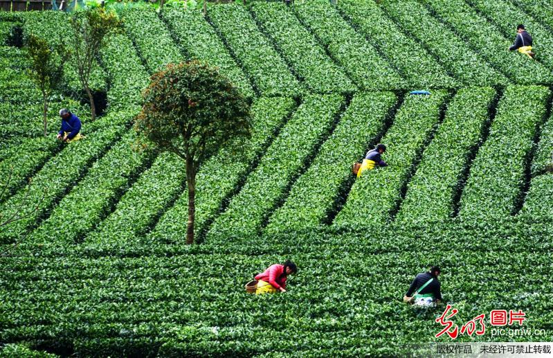Farmers busy with tea picking in E China