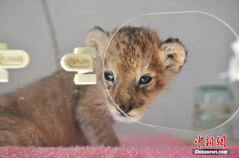 Newborn baby lion in Yunan wildlife park