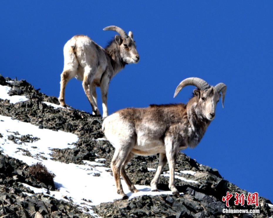 Endangered argali sheep spotted in Gansu